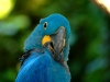 Indigo macaw