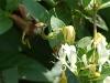 hawkwinged moth