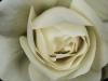 antiqued rose