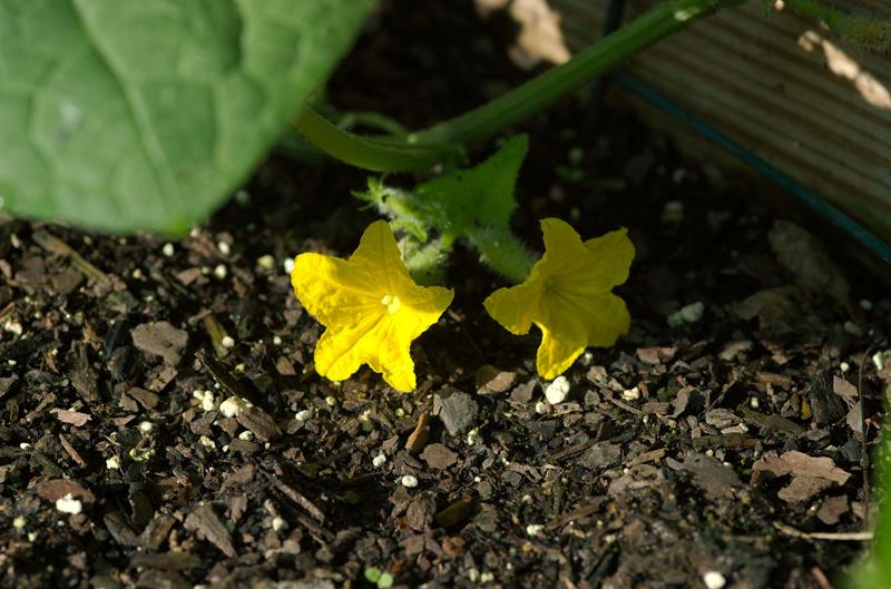 cucumber blooms