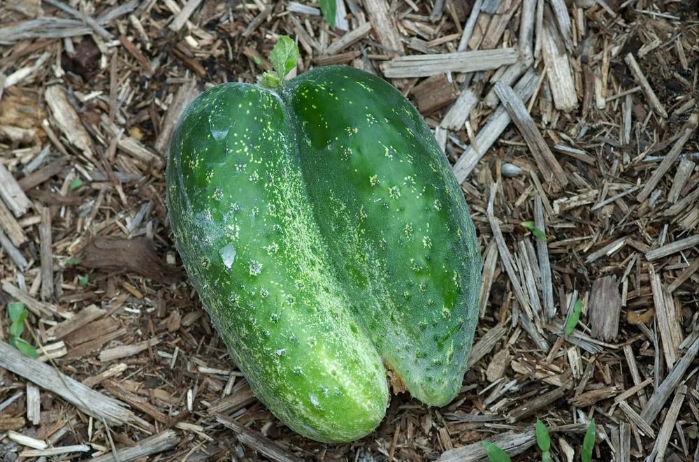 cucumber mess