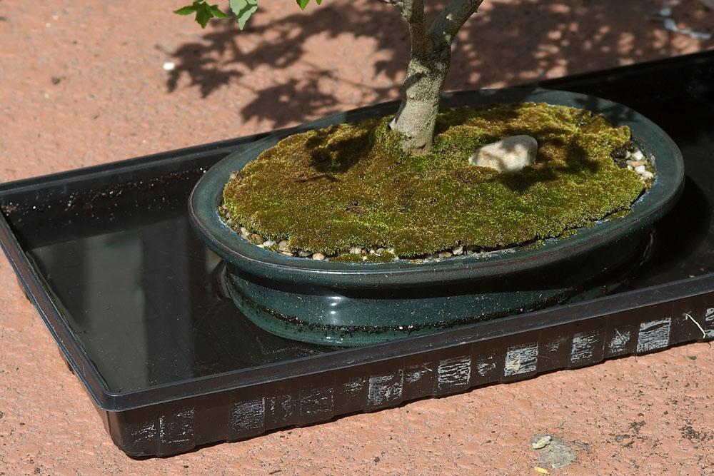 bonsai, root soaking