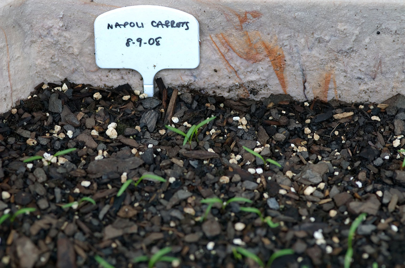 carrot sprouts