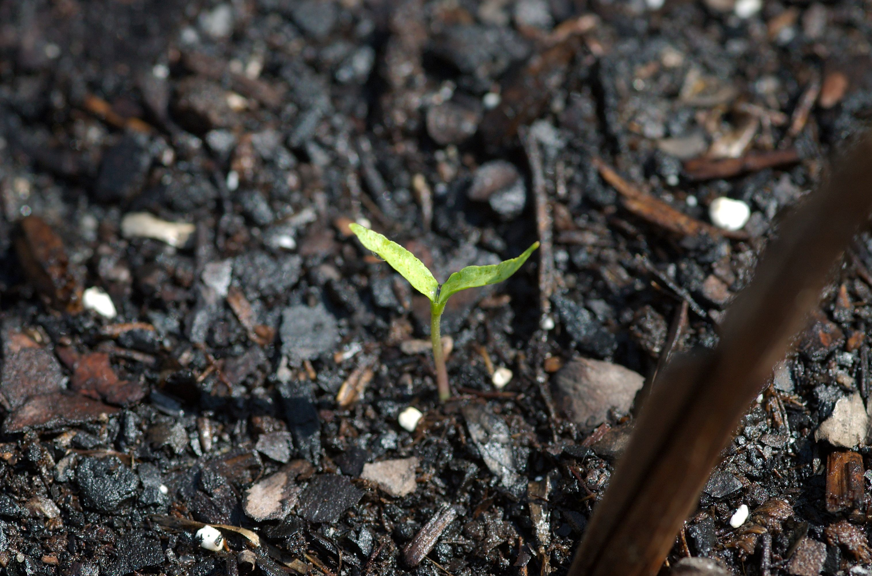 pepper sprout