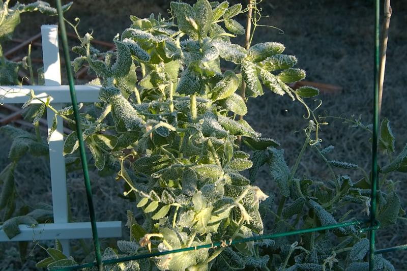 frosted snowpeas