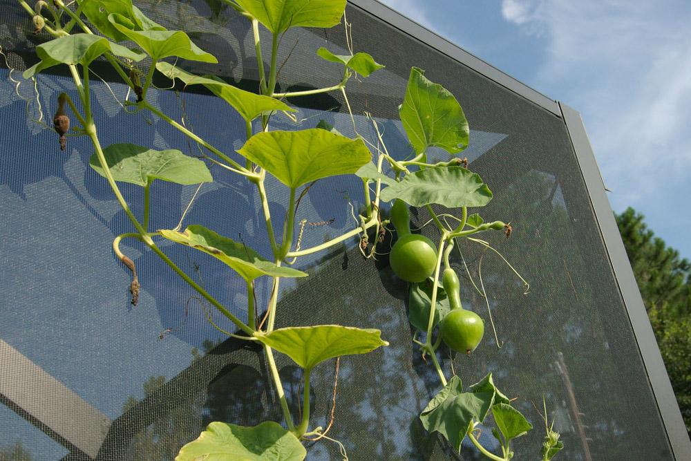 birdhouse gourd vine