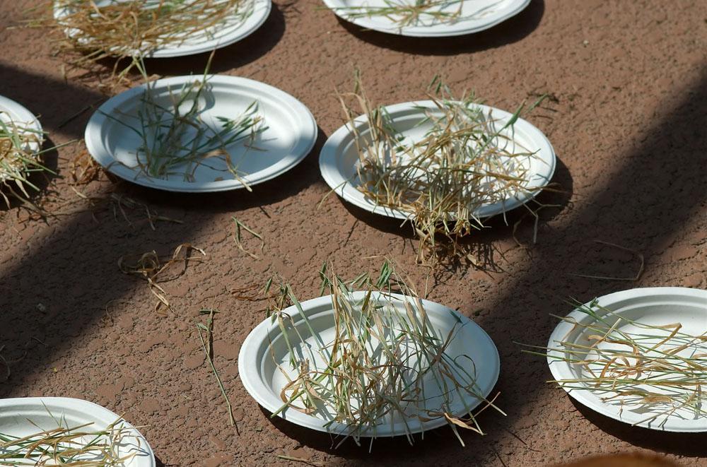 drying catgrass seeds