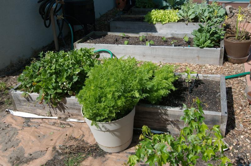 carrot crops