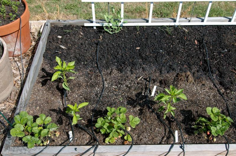 peppers and strawberries