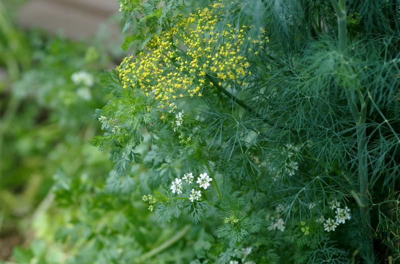 dill and cilantro