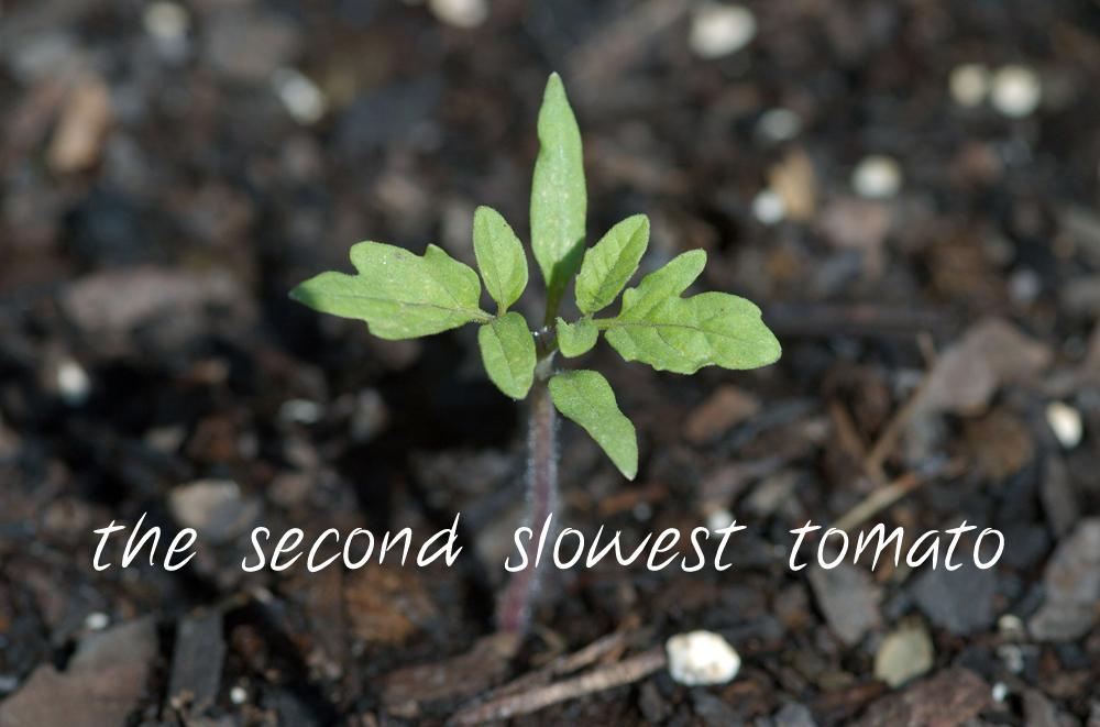 second slowest tomato