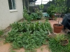 watermelon vines