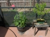 tomato and maple bonsai