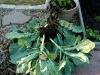romanesco plants