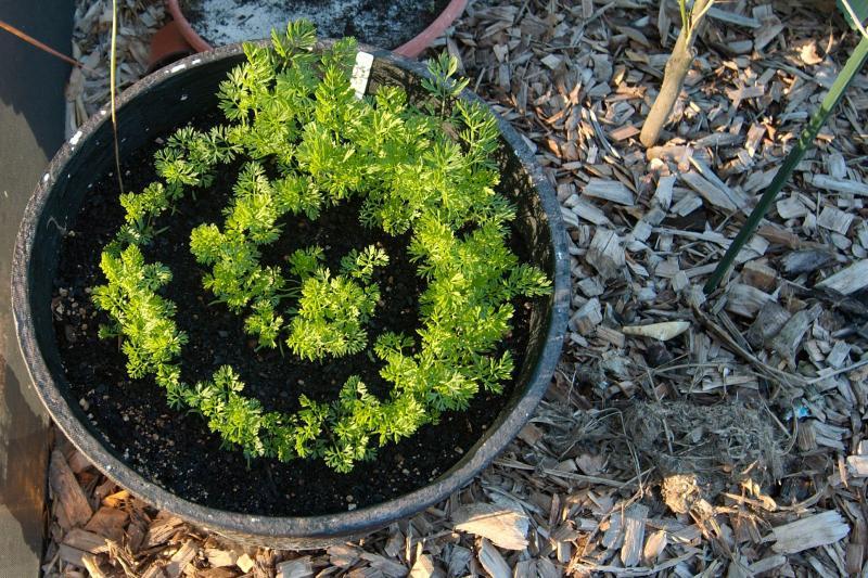 carrot spiral