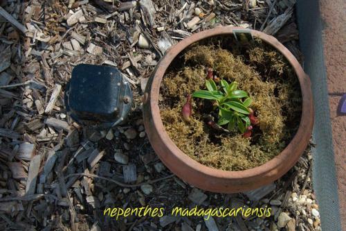Monkey Cup Plant